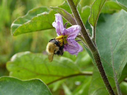 Un Bourdon pollinise une fleur d'Aubergine