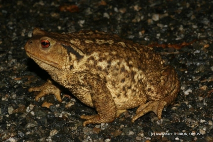 Bufo spinosus femelle (c) Jean-Marc THIRION, OBIOS.