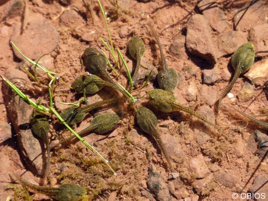 Têtards de Grenouille rousse (c) obios